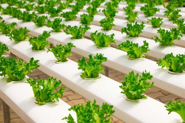 basil-bunch-cultivation-348689